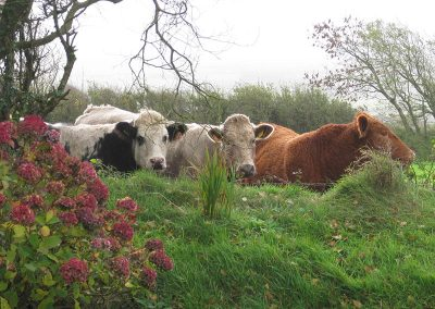 Old Dairy cattle