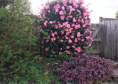 Penrose garden with camelia in bloom